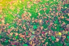Красные желтые кленовые листы осени на траве свежей весны зеленой Стоковая Фотография RF