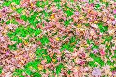 Красные желтые кленовые листы осени на траве свежей весны зеленой Стоковое Изображение RF