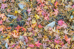 Красные желтые кленовые листы осени на траве свежей весны зеленой Стоковая Фотография