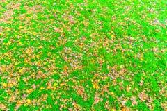 Красные желтые кленовые листы осени на траве свежей весны зеленой Стоковое фото RF