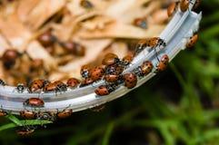 Красные жуки дамы Прослушивать Стоковые Изображения