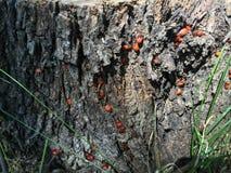 Красные жуки на пне дерева Стоковое фото RF