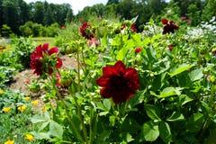 Красные заводы георгина и зеленые листья - повод лета стоковое изображение