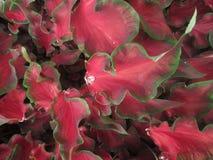 Красные, зеленые листья Caladium Стоковая Фотография RF