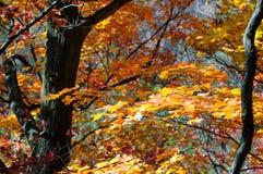 Красные, зеленые и желтые деревья клена в падении Стоковое Изображение