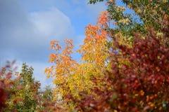 Красные, зеленые и желтые листья на деревьях стоковые изображения rf
