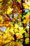 Красные, зеленые и желтые кленовые листы в падении Стоковое Изображение