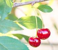 Красные зрелые вишни на дереве Стоковые Фото