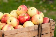 Красные зрелые яблоки Стоковые Фотографии RF