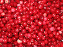 Красные зрелые ягоды клюкв леса Стоковое фото RF