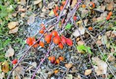 Красные зрелые ягоды briar, фото макроса Бедра bush с зрелыми ягодами Ягоды dogrose на кусте Плодоовощи одичалых роз Терновая соб стоковое фото rf