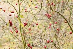 Красные зрелые ягоды briar, фото макроса Бедра bush с зрелыми ягодами Ягоды dogrose на кусте Плодоовощи одичалых роз Терновая соб стоковая фотография