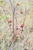 Красные зрелые ягоды briar, фото макроса Бедра bush с зрелыми ягодами Ягоды dogrose на кусте Плодоовощи одичалых роз Терновая соб стоковое изображение