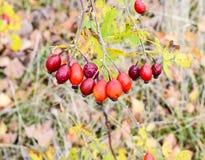 Красные зрелые ягоды briar, фото макроса Бедра bush с зрелыми ягодами Ягоды dogrose на кусте Плодоовощи одичалых роз Терновая соб стоковые изображения rf