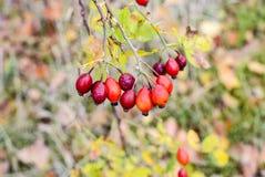 Красные зрелые ягоды briar, фото макроса Бедра bush с зрелыми ягодами Ягоды dogrose на кусте Плодоовощи одичалых роз Терновая соб стоковая фотография rf
