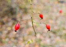 Красные зрелые ягоды briar, фото макроса Бедра bush с зрелыми ягодами Ягоды dogrose на кусте Плодоовощи одичалых роз Терновая соб стоковые изображения