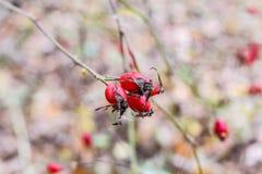 Красные зрелые ягоды briar, фото макроса Бедра bush с зрелыми ягодами Ягоды dogrose на кусте Плодоовощи одичалых роз Терновая соб стоковое фото