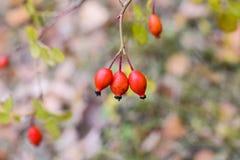 Красные зрелые ягоды briar, фото макроса Бедра bush с зрелыми ягодами Ягоды dogrose на кусте Плодоовощи одичалых роз Терновая соб стоковые фотографии rf