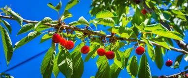 Красные зрелые вишни вися на дереве Стоковая Фотография RF
