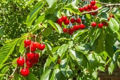 Красные зрелые вишни на ветви, конец-вверх ягод Стоковое Изображение