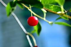 Красные зрелые вишни на крупном плане ветви Стоковое Изображение