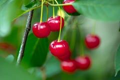 Красные зрелые вишни Стоковое фото RF