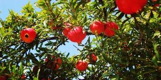 Красные зрелые гранатовые деревья на дереве вал времени земной хлебоуборки сада яблока возмужалый Стоковые Изображения RF