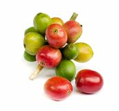 Красные зрелые кофейные зерна. стоковая фотография rf