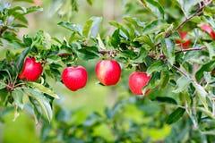 Красные зрелые яблоки на дереве в органическом саде стоковое изображение