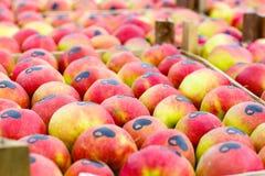 Красные зрелые яблоки на дереве в органическом саде стоковая фотография rf