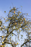 Красные зрелые яблоки на дереве Стоковое Изображение
