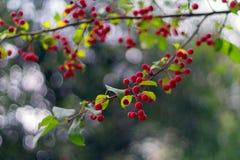 Красные зрелые яблоки на зеленой ветви: autmn в городе Baccata var яблони sibirica Стоковые Фотографии RF
