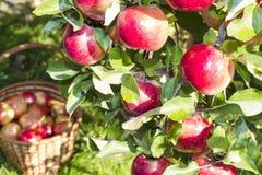 Красные зрелые яблоки Стоковое Изображение