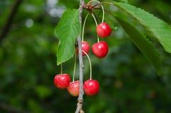 Красные зрелые ягоды вишни Стоковые Изображения RF