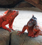 Красные игуаны Стоковые Фото