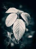 Красные листья ежевики закрывают вверх - черно-белое Стоковая Фотография