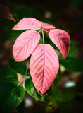 Красные листья ежевики закрывают вверх Стоковое Изображение