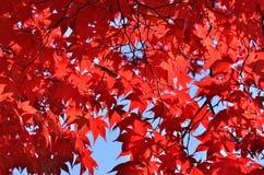 Красные листья дерева клена, Киото Японии Стоковая Фотография RF