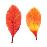 Красные листья осени барбариса изолированные на белизне Стоковая Фотография