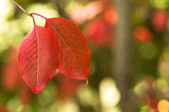 Красные листья осени с крупным планом Bokeh стоковые изображения