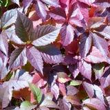 Красные листья осени chokeberry Стоковая Фотография RF