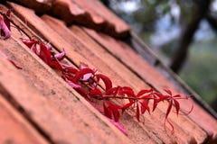 Красные листья плюща на осени Стоковое Фото