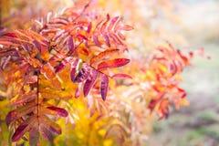 Красные листья рябин-дерева в лесе Стоковые Фотографии RF