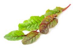 Красные листья салата мангольда Стоковые Фото