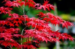 Красные листья, сады ледника, Juneau, Аляска, США Стоковая Фотография