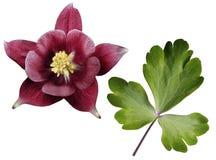 Красные листья цветка и зеленого цвета на белизне изолировали предпосылку с путем клиппирования Отсутствие теней Стоковое фото RF