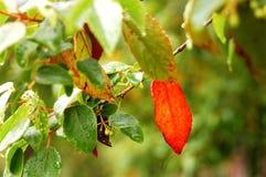 Красные листья Стоковые Фотографии RF