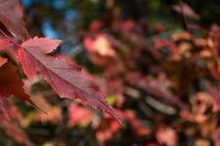Красные листья Стоковые Изображения RF