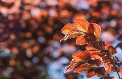 Красные листья Стоковое Изображение RF