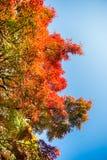 Красные листья momiji Стоковое Изображение